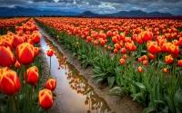 картинки поле тюльпанов
