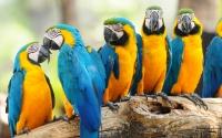 картинки попугаи ара