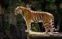 картинки одинокий тигр