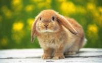 картинки домашний вислоухий кролик
