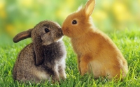 картинки поцелуй кроликов