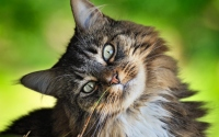 картинки пушистый кот