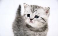 картинки серый котенок