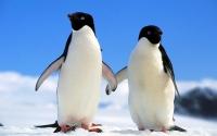 картинки парочка пингвинов
