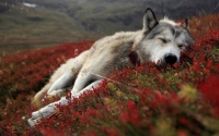 картинки спящий волк