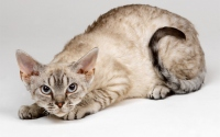 картинки хищная кошка