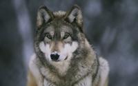 картинки красивый волк