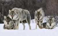 Обои Стая волков хорошего качества