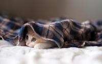 Обои Котенок под покрывалом для нетбука