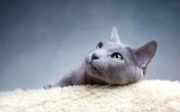 картинки русская голубая кошка