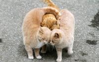 картинки любовь кошек