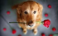 картинки собака с розой