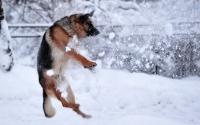 картинки овчарка играет в снежки