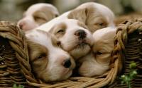картинки маленькие щенки в корзинке