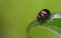 картинки перламутровый жук