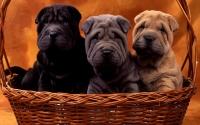 картинки щенки шарпея