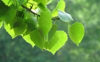 картинки молодая листва
