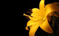 картинки желтая лилия