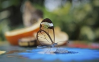 картинки бабочка стеклянница