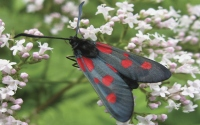 картинки бабочка пестрянка