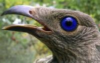 картинки птица лирохвост