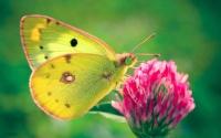 картинки бабочка лимонница