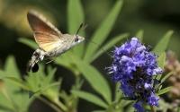 картинки бабочка бражник
