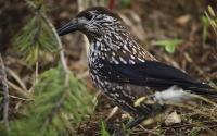 картинки птица кедровка