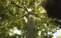 картинки дерево чинара