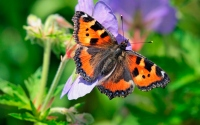 картинки бабочка крапивница