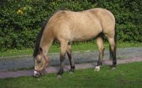 картинки буланый конь