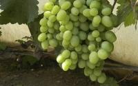 картинки виноград кеша