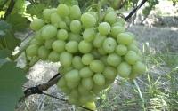 картинки виноград аркадия