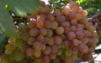 картинки виноград велес