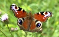 Фото бабочка павлиний глаз на рабочий стол