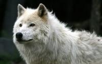 картинки волк альбинос