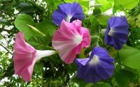картинки цветок ипомея