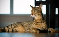 картинки кошка ашера