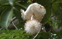 картинки цветок баобаба