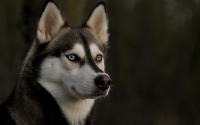 картинки собака хаски