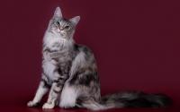 картинки кошка хайлендер