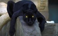 картинки черная пантера