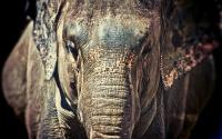 Шикарный слон