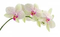 картинки цветок белой орхидеи