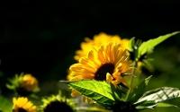 картинки солнечный подсолнух