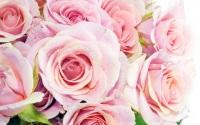 картинки розовые розы