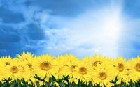 Картинки Солнечные подсолнухи скачать бесплатно