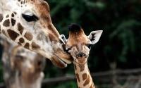 Картинки Любовь жирафа для ноутбука