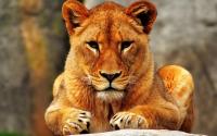 Заставки Красивая львица для Windows