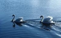 картинки белоснежные лебеди